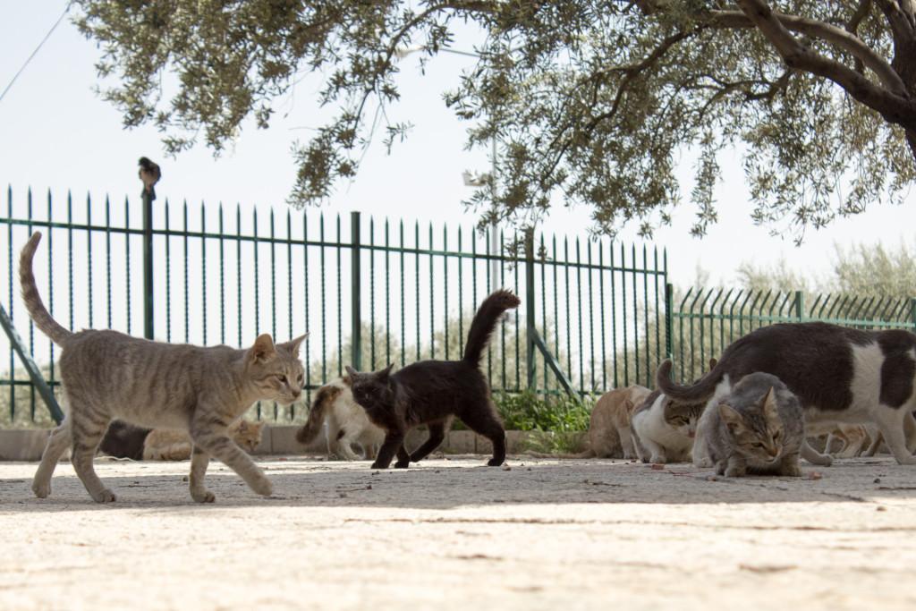 Kočky na Chrámové hoře. Muži se modlí v mešitě, ženy posedávají na trávnících a kočky si vegetí ve stínu.