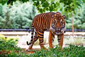 sumatran-tiger-tiger-big-cat-stripes-46251